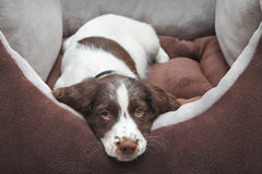 Puppy dog in comfy bed Stock Photo