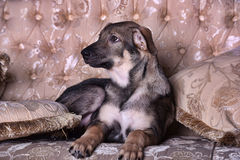 Puppy dog on the couch Royalty Free Stock Image