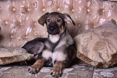 Puppy dog on the couch. Crossbreed puppy dog on the couch Royalty Free Stock Images