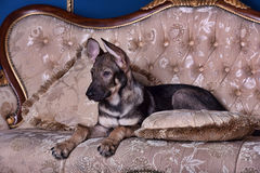 Puppy dog on the couch Royalty Free Stock Photos