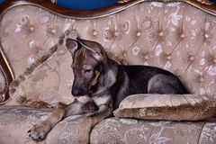 Puppy dog on the couch Stock Image