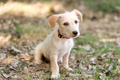 Puppy Dog Cute. Is an adorable puppy dog pet outdoors looking at you with those eyes Royalty Free Stock Photos