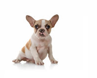 Puppy Dog With Cute Expression Studio Shot Royalty Free Stock Image