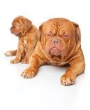 Puppy and dog of Dogue de Bordeaux Stock Photos