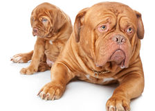 Puppy and dog of Dogue de Bordeaux Royalty Free Stock Image