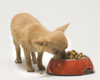 Puppy Dog eat food Royalty Free Stock Image