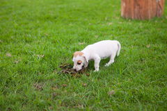 Puppy dog is eating animal feces Stock Images