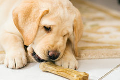 Puppy dog eating toy bone Stock Image