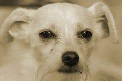 Puppy dog eye's Royalty Free Stock Image