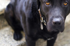 Puppy dog eyes. Black lab with beautiful eyes Royalty Free Stock Images