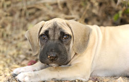Puppy Dog Eyes. Is a closeup of an adorable puppy dog outdoors looking at you with those big adorable eyes Stock Image