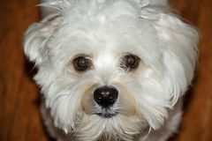 Puppy Dog Eyes. A Havanese Maltese puppy stares at the camera Stock Image