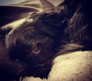 Puppy dog eyes from my Billy. Snuggling up with puppy dog eyes Royalty Free Stock Photos