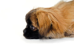 Puppy dog face is looking Royalty Free Stock Photo