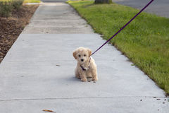 Puppy dog on first walk Stock Photography