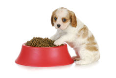 Puppy with dog food bowl Royalty Free Stock Photo