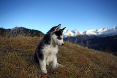 Puppy Dog in front of a Mountain Scenery Royalty Free Stock Images