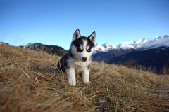Puppy Dog in front of a Mountain Scenery Stock Photos