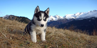 Puppy Dog in front of a Mountain Scenery Stock Photography