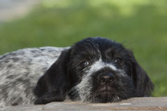 Puppy dog German Shorthaired Pointer Royalty Free Stock Images