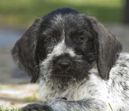 Puppy dog German Shorthaired Pointer Stock Images