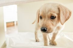 a puppy dog golden retriever under a table royalty free stock images