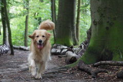 Puppy, dog golden retriever. A very beautifull dog in nature Stock Photography