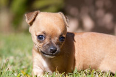 Puppy dog in the grass Stock Photography
