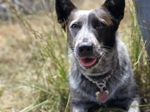 Puppy dog in the grass. A young Australian cattle dog sitting on brick in tall grass Stock Image