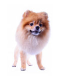 Puppy dog grooming lion design Stock Photography