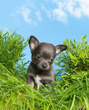 Puppy dog in high grass Stock Image