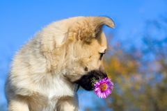 Puppy dog hold flower in mouth Royalty Free Stock Photography