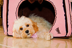 Puppy in Dog House. Miniature poodle cross in her dog house Stock Image