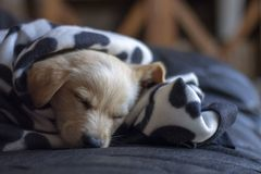 PUPPY DOG  JOY IN THE HOUSE. PUPPY DOG IN THE HOUSE SLEEPING, PORTRAIT stock image