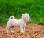 Puppy Dog In Green Meadow Grass Royalty Free Stock Images