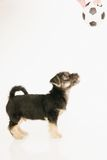 Puppy dog isolated on white Royalty Free Stock Photography