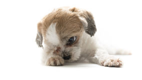 Puppy dog Royalty Free Stock Photo