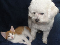 Puppy Dog and Kitten Together. Cute white puppy dog and an orange and white kitten are together as friends Royalty Free Stock Photos