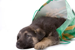 Puppy dog looking out of a bag stock image