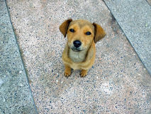 Puppy dog. Puppy looking, sitting on path Stock Images