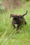 Puppy dog. Is looking for something in the grass Stock Images