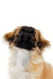 Puppy dog is looking up Royalty Free Stock Photos