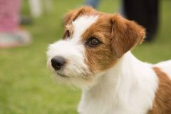 Puppy dog Love terrier sweet pet royalty free stock photography
