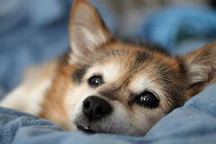 Puppy dog. Lying on bed Stock Photography
