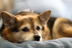 Puppy dog. Lying on bed Royalty Free Stock Photography