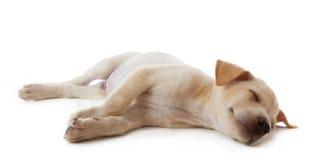 Puppy dog lying Stock Photos