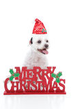 Puppy dog and Merry Christmas sign. A small white maltese terrier sitting by a sign that reads, Merry Christmas Stock Photography