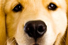 Puppy Dog Nose Stock Image