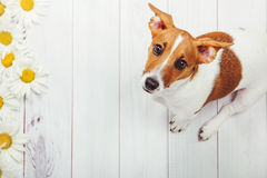 Puppy Dog On Light Wooden Background. Stock Images