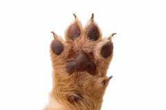 Puppy dog paw on white background. Puppy dog paw isolated on white background Stock Photography